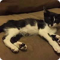 Adopt A Pet :: Indigo - New York, NY