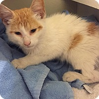 Domestic Shorthair Kitten for adoption in Yorba Linda, California - Cheezball