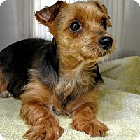 Yorkie, Yorkshire Terrier Dog for adoption in Newark, Delaware - Talia
