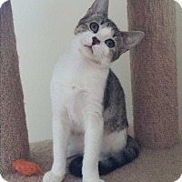 Adopt A Pet :: Tiger stripe & white M kitten - Manasquan, NJ