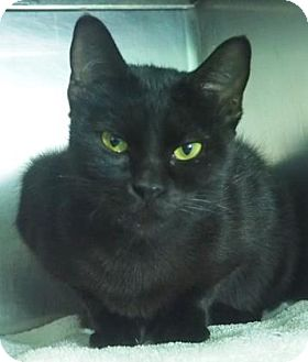 Domestic Shorthair Cat for adoption in New Orleans, Louisiana - Ophelia