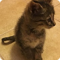 Domestic Shorthair Kitten for adoption in Princeton, Minnesota - Crystal