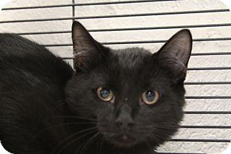 Domestic Shorthair Cat for adoption in Sarasota, Florida - Phoenix
