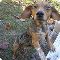 Dachshund Mix Dog for adoption in Jacksonville, Florida - little max 0920