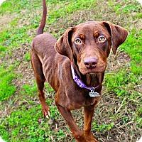 Adopt A Pet :: Monica - Shreveport, LA