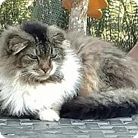Adopt A Pet :: Scarlett - Marco Island, FL