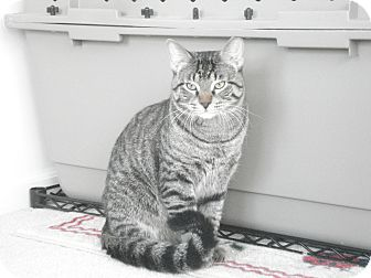 Domestic Shorthair Cat for adoption in Chicago, Illinois - Gigio