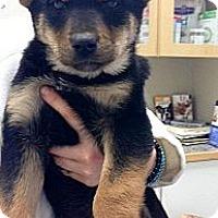 Adopt A Pet :: Bazinga - Saskatoon, SK