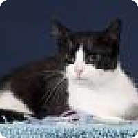 Domestic Shorthair Cat for adoption in Wayne, New Jersey - Liz