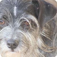 Adopt A Pet :: Pippa - Norwalk, CT