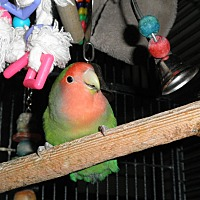 Lovebird for adoption in Neenah, Wisconsin - Sweet Pea