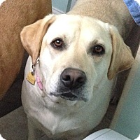 Adopt A Pet :: Daisy Urgent - Windham, NH