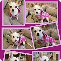 Chihuahua Dog for adoption in Del Rio, Texas - Carolina