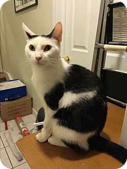Domestic Shorthair Cat for adoption in Valley Stream, New York - Charlie