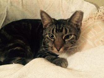 Domestic Shorthair Cat for adoption in Delmont, Pennsylvania - Skidipper