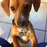 Adopt A Pet :: Levi - Rancho Cucamonga, CA