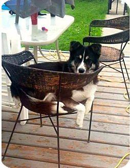 Husky Mix Dog for adoption in Edmonton, Alberta - DIESEL