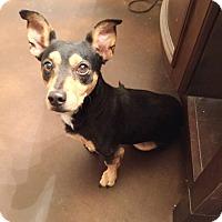 Adopt A Pet :: Zoro - Brea, CA