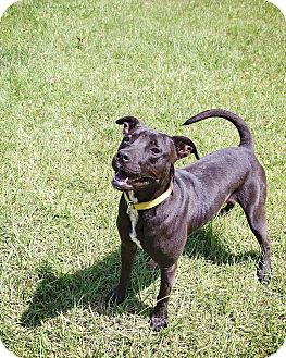 Labrador Retriever/American Bulldog Mix Dog for adoption in Boston, Massachusetts - Beau