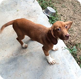 Beagle Mix Puppy for adoption in Dumfries, Virginia - Salsa