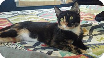 Domestic Shorthair Kitten for adoption in Seminole, Florida - Nugget