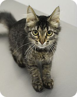 Domestic Mediumhair Kitten for adoption in Springfield, Illinois - Tabby