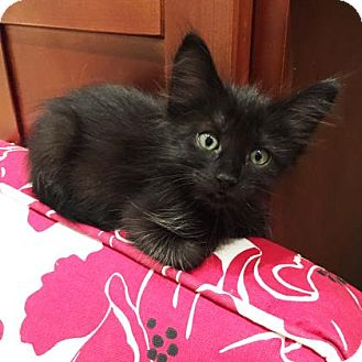 Domestic Shorthair Kitten for adoption in Austin, Texas - Diana