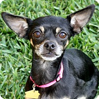 Miniature Pinscher/Chihuahua Mix Dog for adoption in Yorba Linda, California - Victoria - I'm an easy dog!