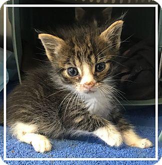 Domestic Mediumhair Kitten for adoption in Los Alamitos, California - Luigi