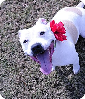 Pit Bull Terrier Mix Dog for adoption in Memphis, Tennessee - Courtney