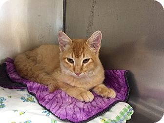 Domestic Mediumhair Cat for adoption in Mountain View, Arkansas - Ginger