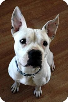 American Bulldog Mix Dog for adoption in Suwanee, Georgia - Sally