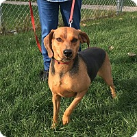 Hound (Unknown Type) Mix Dog for adoption in Huntley, Illinois - Marigold