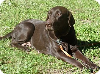 Labrador Retriever Dog for adoption in Denton, Texas - Murano