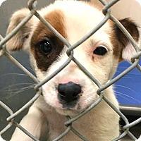 Adopt A Pet :: Bindi - Boulder, CO