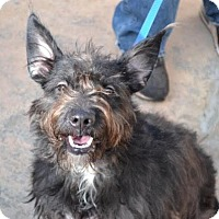 Miniature Schnauzer/Terrier (Unknown Type, Small) Mix Dog for adoption in Chester Springs, Pennsylvania - Coconut