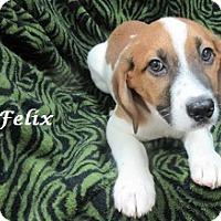 Adopt A Pet :: Felix - Bartonsville, PA