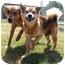 Photo 2 - Sheltie, Shetland Sheepdog Mix Dog for adoption in Kingwood, Texas - Sam