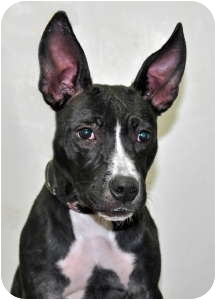 American Pit Bull Terrier Mix Dog for adoption in Port Washington, New York - Holly