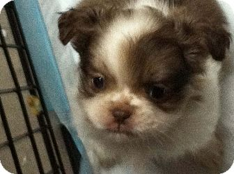 Pekingese/Pekingese Mix Puppy for adoption in Hazard, Kentucky - Snickers