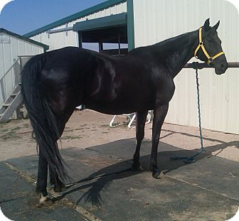 Quarterhorse Mix for adoption in Larskpur, Colorado - Sybil