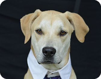Labrador Retriever Mix Dog for adoption in Plano, Texas - Mason