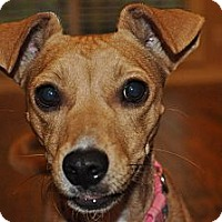 Adopt A Pet :: Missy - Richmond, VA