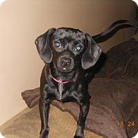 Adopt A Pet :: Ebby - Acushnet, MA