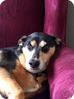 Shepherd (Unknown Type)/Beagle Mix Dog for adoption in PLAINFIELD, Indiana - Samantha