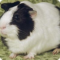Adopt A Pet :: Herberto - Santa Barbara, CA