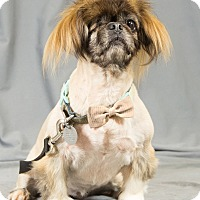 Pekingese Mix Dog for adoption in Oklahoma City, Oklahoma - Bunny
