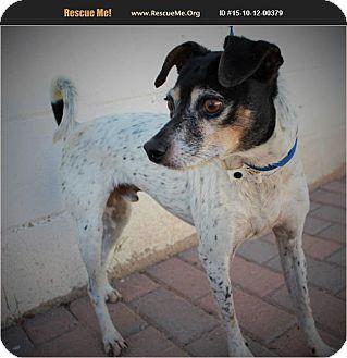 Fox Terrier (Smooth)/Jack Russell Terrier Mix Dog for adoption in Phoenix, Arizona - Sammy