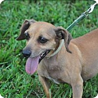 Dachshund Mix Dog for adoption in Osage Beach, Missouri - Monkey/ Penny