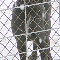 Labrador Retriever/Pit Bull Terrier Mix Puppy for adoption in New Plymouth, Idaho - PUDGE